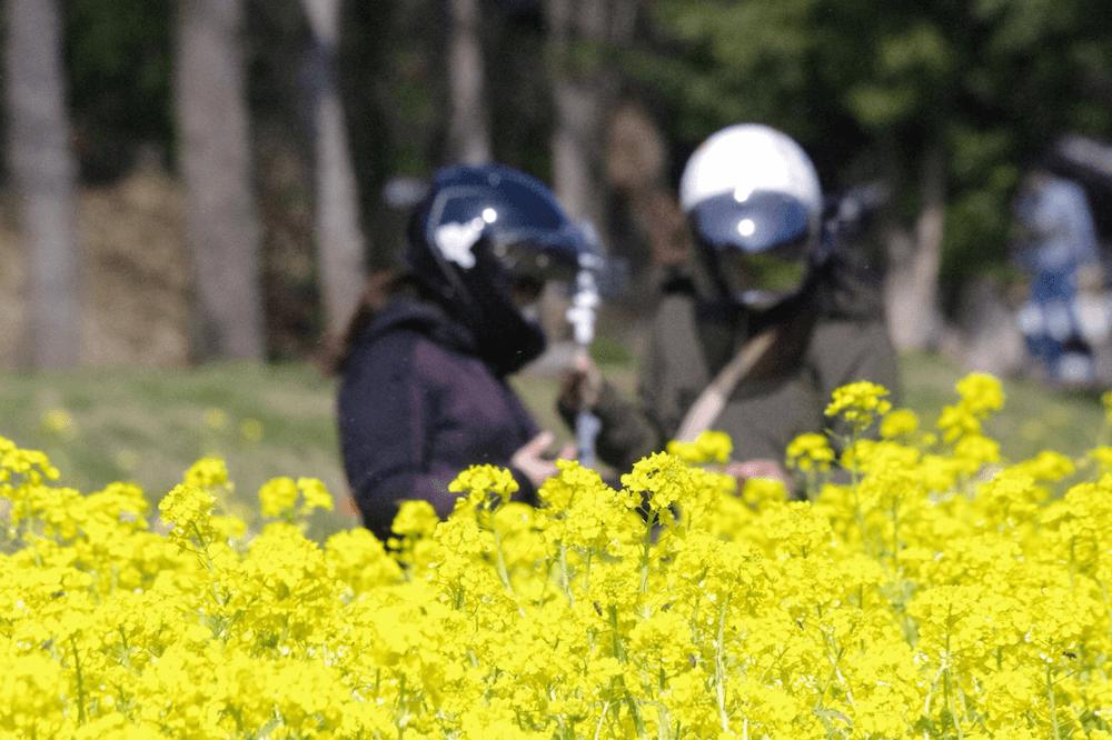 国営飛鳥歴史公園甘樫丘地区 菜の花畑