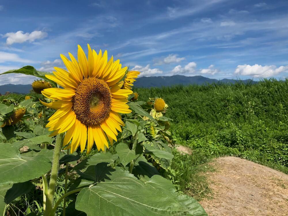 琵琶湖 第1なぎさ公園 ひまわり畑